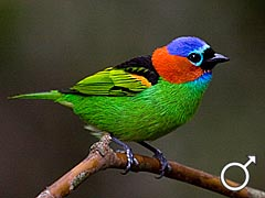 Red-necked_Tanager_-_Tangara_cyanocephala_-_M