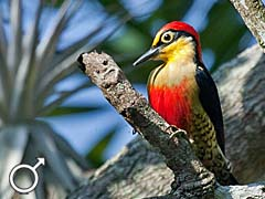 Yellow-fronted_Woodpecker_-_Melanerpes_flavifrons_-_M